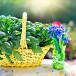 La albahaca una hierba aromática muy sana para las comidas de los peques.